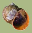 Pomacea insularum | photo
