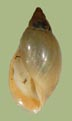 Physa carolinae | photo