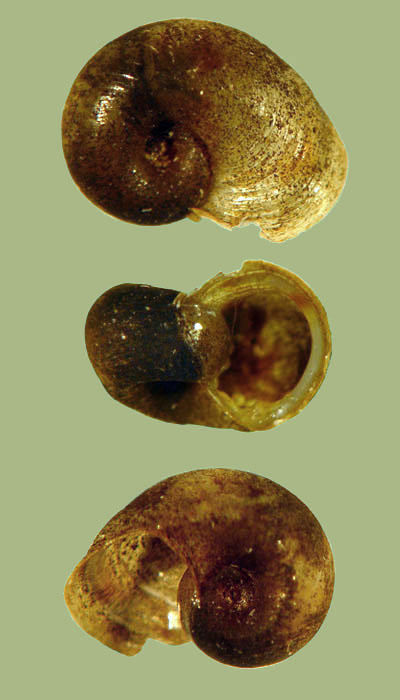 Helisoma eucosmium | photo