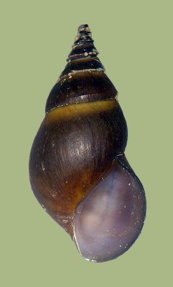 Pleurocera simplex | photo