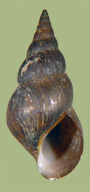 Pleurocera gabbiana | photo